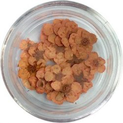 Getrocknete Blumen - Orange
